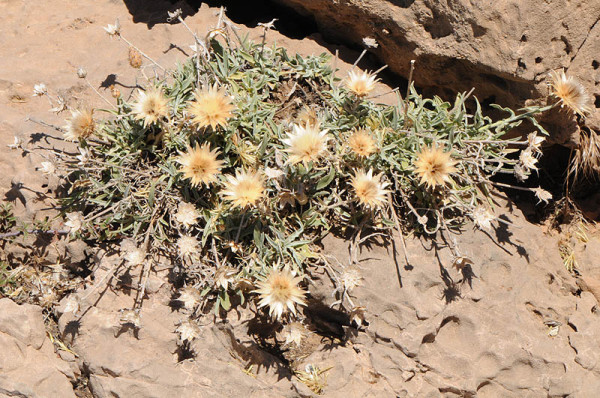 Centaurea drabifolia Sibth. & Sm.