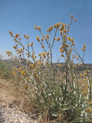דרדר חוחני Centaurea onopordifolia Boiss.
