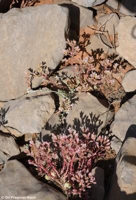 Rosularia libanotica (Labill.) Muirh.