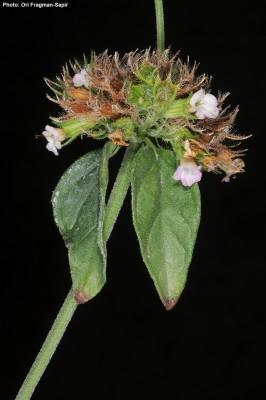 קלינופודיון מנוצה Clinopodium vulgare L.