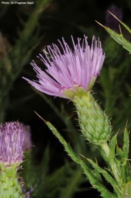 קוצן גיירדו Cirsium gaillardotii Boiss.