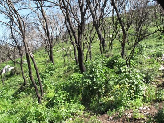 Lavatera bryoniifolia Mill.