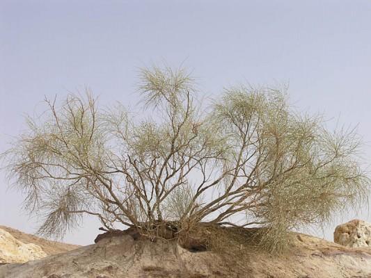 רותם המדבר Retama raetam (Forssk.) Webb