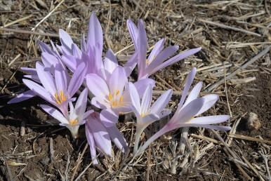 הפריחה מתרחשת לפני הופעת העלים, עלי העטיף ארוכים צרים וחלקים