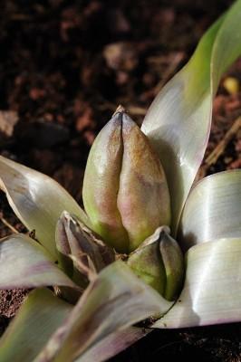 סתוונית ירושלים Colchicum hierosolymitanum Feinbrun