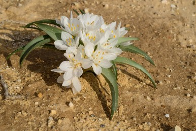 צמח פקעת בעל עלים קרחים ופריחה חורפית