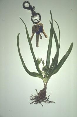 נץ-חלב אזמלני Ornithogalum lanceolatum Labill.