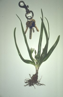 Ornithogalum lanceolatum Labill.