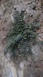 העלים גזורים-מנוצים פעם אחת, הם דמויי סרגל או מוארכים. צבע הפטוטרת חום-אדמדם כהה.