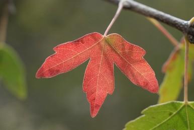 העלים מאדימים בסתיו לפני הנשירה