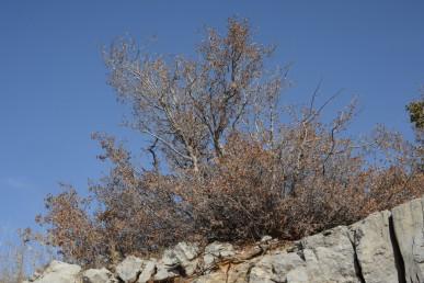 שיח או עץ קטן נשיר חורף, עם עלים קטנים