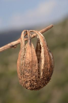 ספלול מחוספס Aristolochia scabridula Boiss.