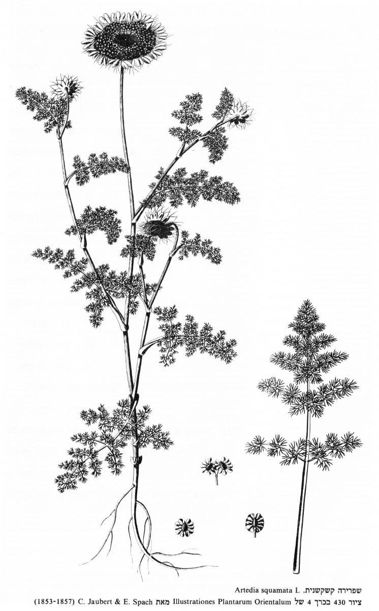 artedia-squamata