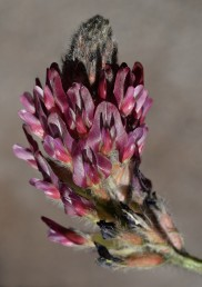 הפרחים ארגמניים , התפרחת מוארכת