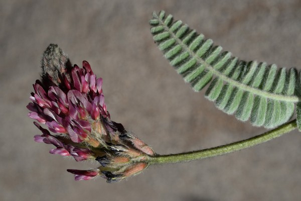 Astragalus cretaceus Boiss. & Kotschy