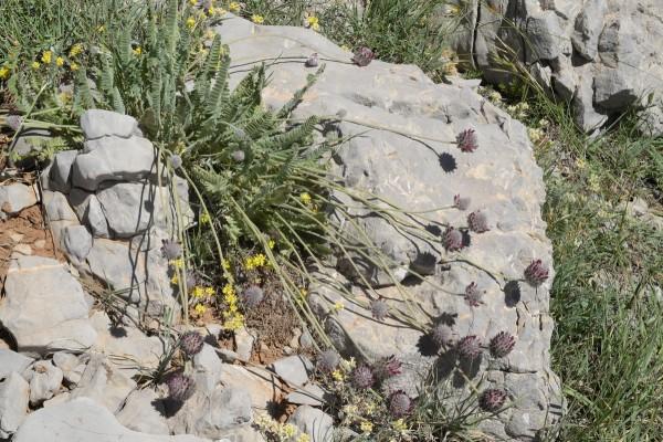 Astragalus emarginatus Labill.
