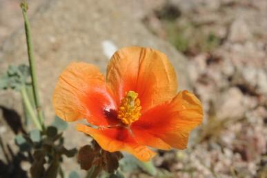 הפרחים אדומים-כתומים, אורך עלי הכותרת 3-2 ס