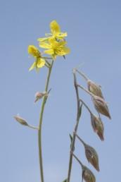 הפרחים קטנים צהובים, עלי הכותרת נושרים בבוקר. הפירות משתלשלים כלפי מטה . אורך עוקץ הפרי כאורך הגביע או קצר ממנו.
