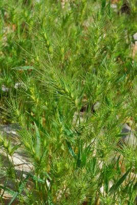 עקר שעיר Heteranthelium piliferum (Sol.) Hochst.