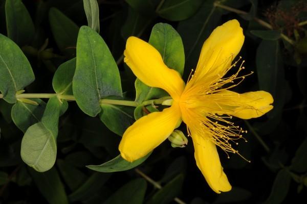 פרע ריחני Hypericum hircinum L.