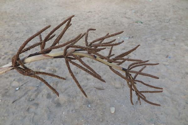 Hyphaene thebaica (L.) Mart.