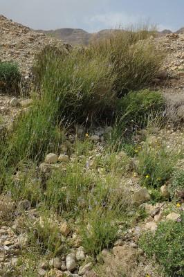 אזוביון מדברי Lavandula coronopifolia Poir.