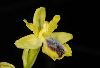 לשפית שוליים צהובים קרחים מסביב לחלק האמצעי השעיר שצבעו חום-בהיר ירקרק; אורך עלי-העטיף הפנימיים 7 מ
