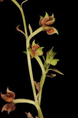 Ranunculus chius DC.