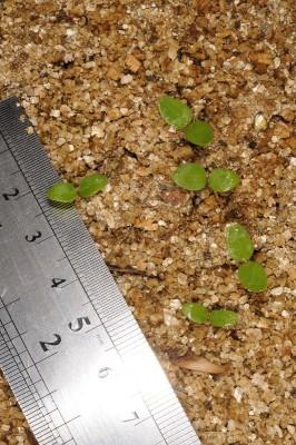 נורית סלילנית Ranunculus pinardii (Steven) Boiss.
