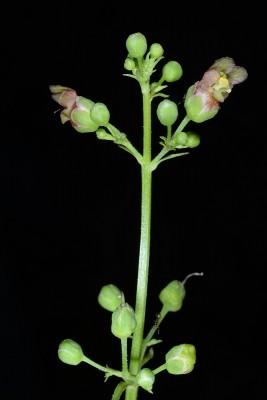 Scrophularia macrophylla Boiss.