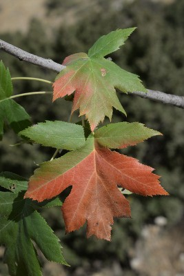 בן-חוזרר הררי Sorbus torminalis (L.) Crantz