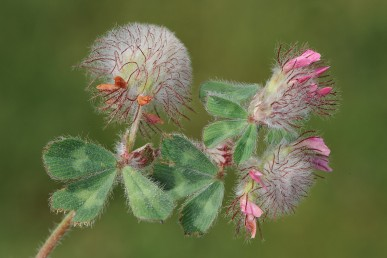 בקרקפת (4-)7-5(-8) פרחים פורים. כותרתם בצבע ורוד כהה או ארגמן.
