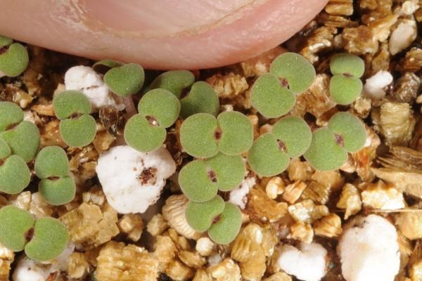 אבובית החרטומים Ziziphora clinopodioides Lam.