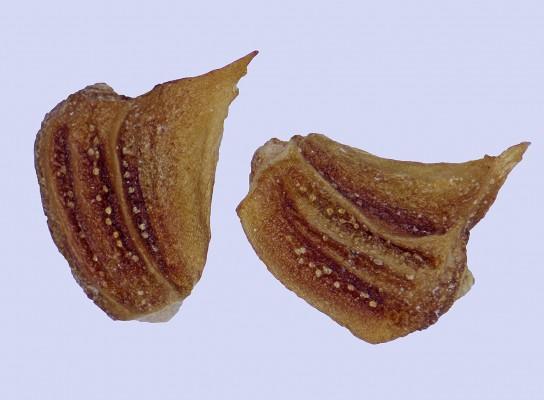 חרצית עטורה Glebionis coronarium (L.) N.N. Tzvel.