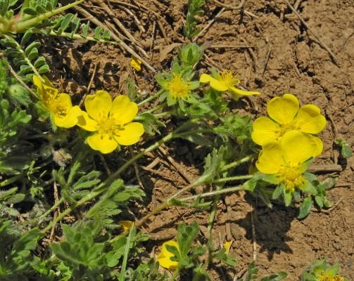 חמשן נדיר Potentilla geranioides Willd.