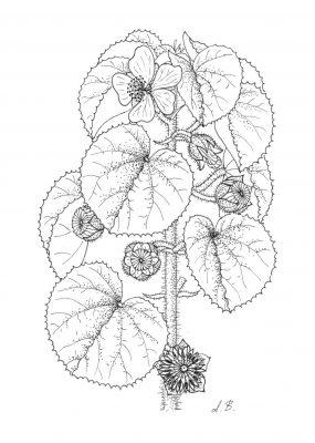 אבוטילון קהה Abutilon hirtum (Lam.) Sweet