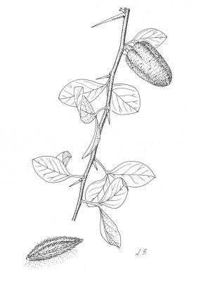 Balanites aegyptiaca (L.) Delile
