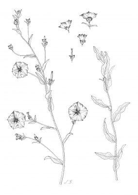 חבלבל מדברי Convolvulus pilosellifolius Desr.