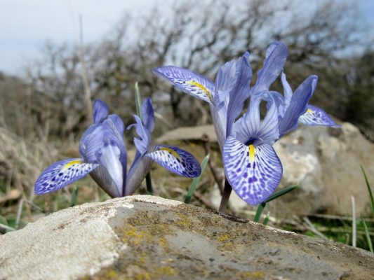 אירוס הלבנון Iris histrio Rchb.f.