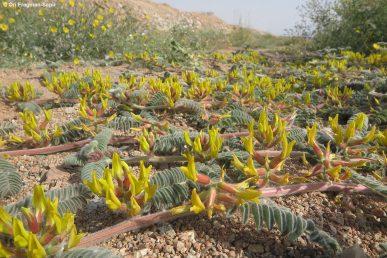 צמח עשבוני רב-שנתי שעיר זוחל של המדבר הקיצוני