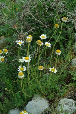 בבונגית ההרים Tripleurospermum oreades (Boiss.) Rech.f.