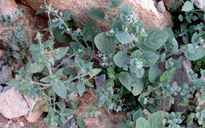 מימין צמרורת אהרנברג ומשמאל צמרורה אפריקאית. העלים של צ. אהרנברג מעוגלים, אורכם פחות מפי-שניים רוחבם