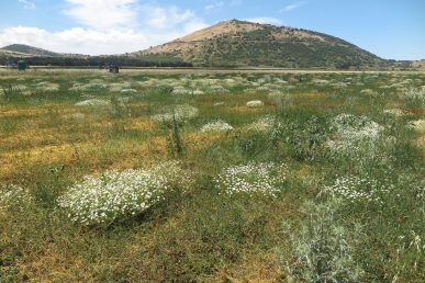 צמחי שדות חד-שנתיים מרובי תפרחות קטנות