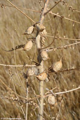 Astragalus aleppicus Boiss.
