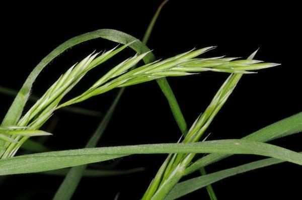 אבליניית מישל Trisetaria michelii (Savi) D. Heller