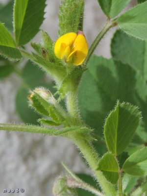 אספסת קעורה Medicago scutellata (L.) Mill.