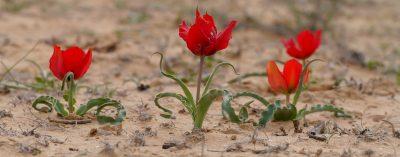 גיאופיט מדברי בכל עלים גלוניים ופרחים בעלי שישה עלי עטיף שווים באורכם