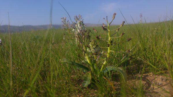 זמזומית הערבות Bellevalia stepporum Feinbrun