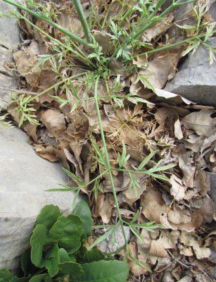 יורניה דו-קרנית Johrenia dichotoma DC.
