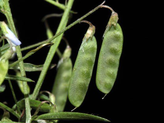 בקיה עדינה Vicia tetrasperma (L.) Schreb.